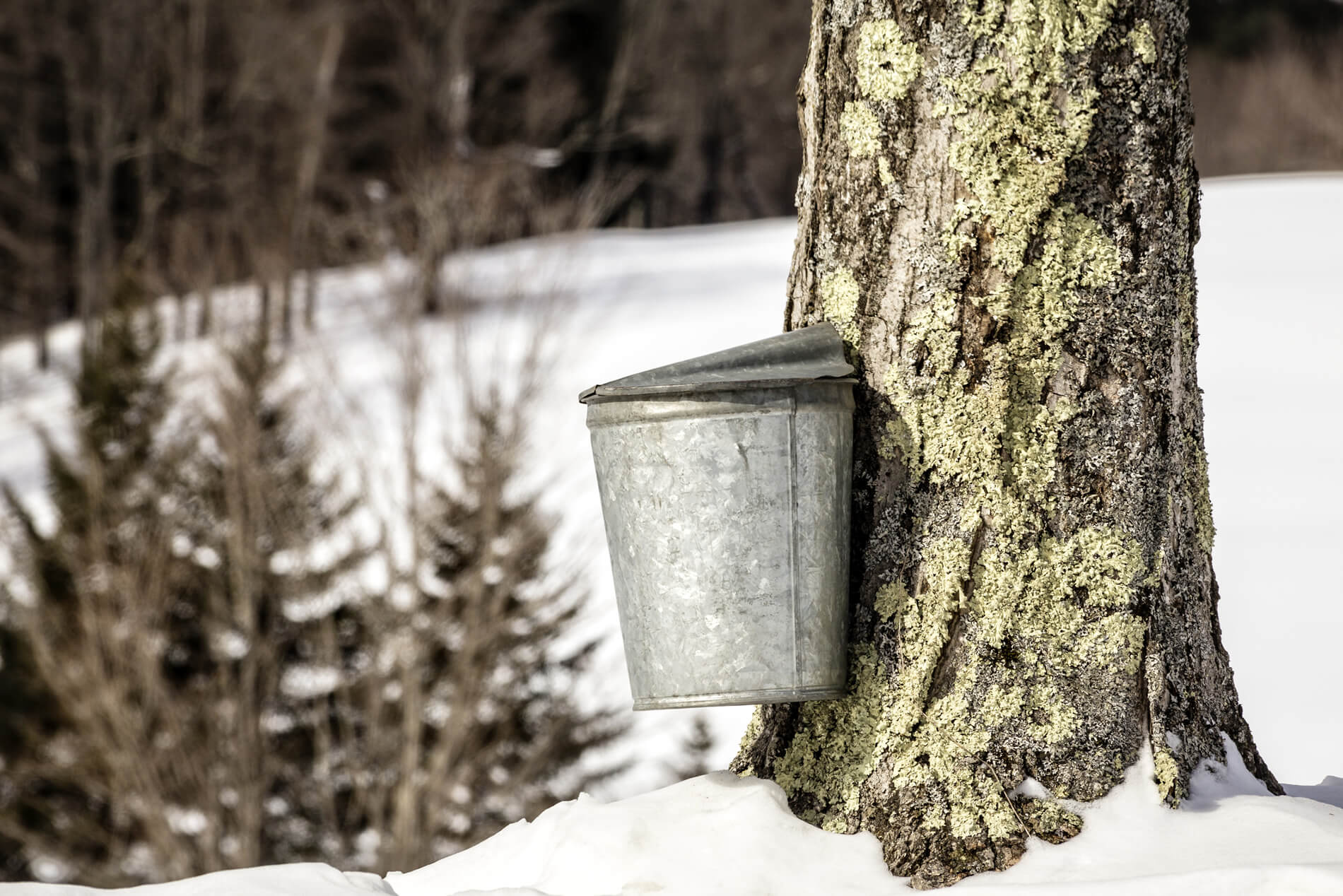 Maple tree with a silver sap bucket during winter with white snow covered ground.